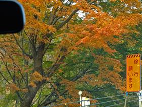 奥多摩湖周遊道路沿いの紅葉するもみじ