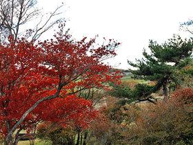 真っ赤に色づく大笹牧場の木々