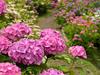 梅雨の紫陽花観光