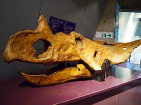 カスモサウルスの頭骨