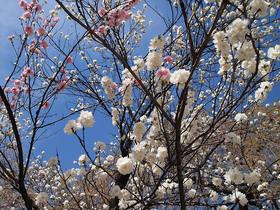 清雲寺入口の桜