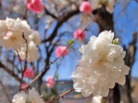 清雲寺入口の桜写真のアップ