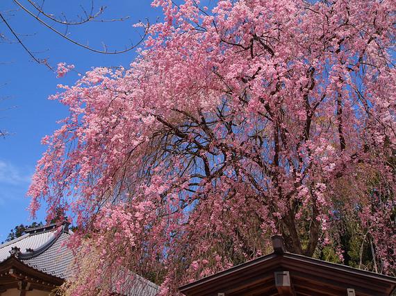 清雲寺お堂横のしだれ桜