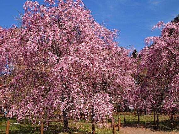 秩父紅しだれ桜