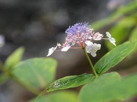水辺に咲くタマアジサイ