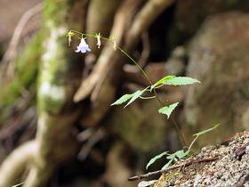 岩場に咲くソバナ