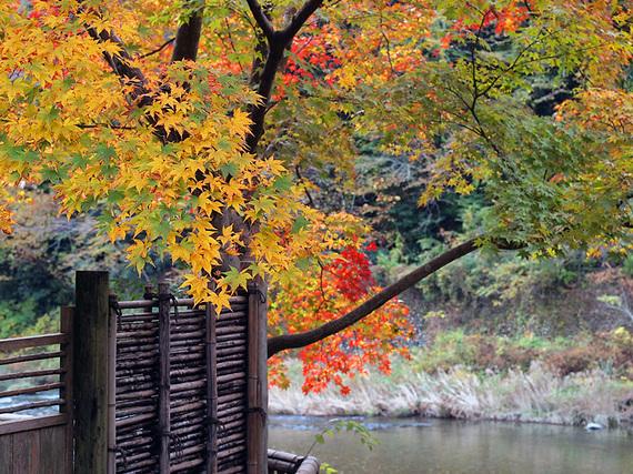 ままごと屋の垣根から紅葉