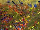 黄葉のモミジ