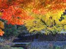 紅葉とイチョウの木