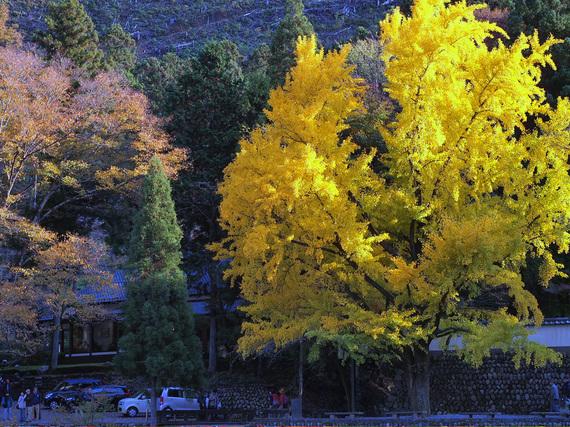 御岳渓谷のシンボル 大きなイチョウの木