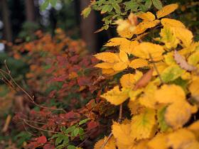 鮮やかな黄葉