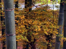 竹やぶと黄葉したモミジ
