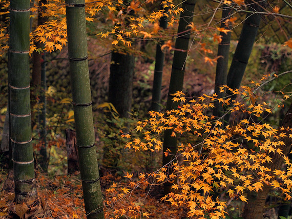 浅間林道沿いの竹やぶとモミジ