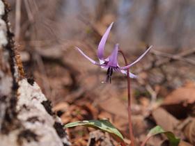 山道脇のカタクリの花