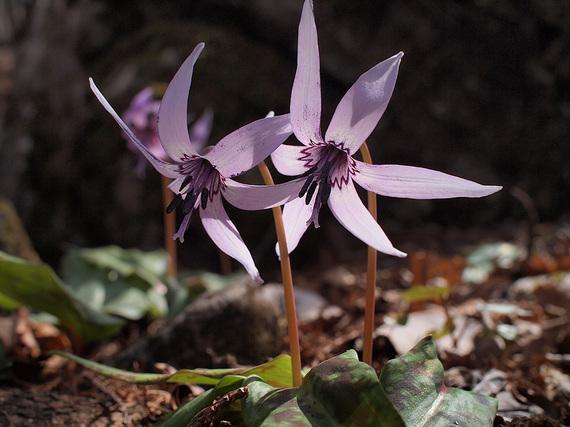 カタクリの花4