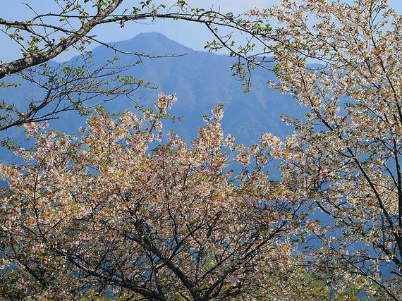 浅間嶺展望台に咲くヤマザクラ