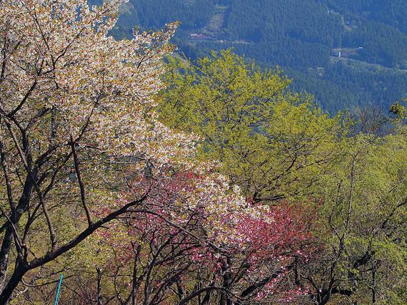浅間嶺の新緑と二色の桜