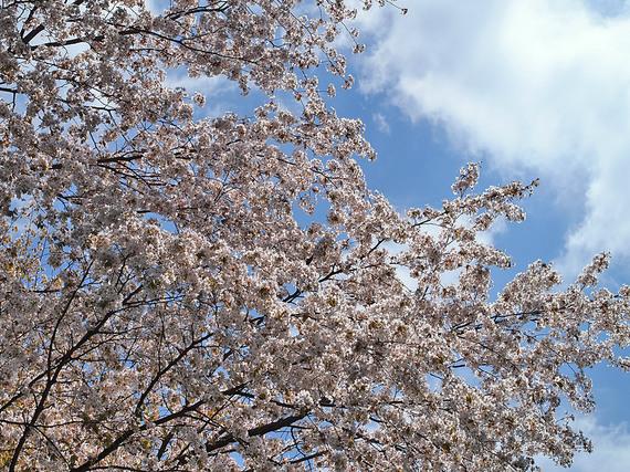 浅間林道の桜