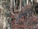 白岩山に生息する鹿