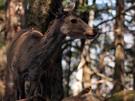 白岩山に生息する鹿2