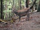 白岩山に生息する鹿3