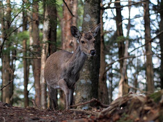 白岩山の鹿