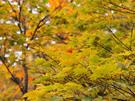 鮮やかに紅葉する平元新道5
