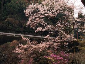 浅間林道沿いの桜