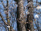 一部咲きのヤマザクラ