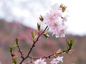時坂集落の八重桜