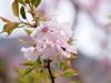 浅間嶺のカタクリと桜