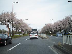 桜が満開の八王子市の新滝山街道