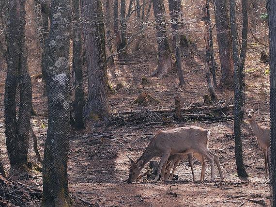 笠取小屋の鹿