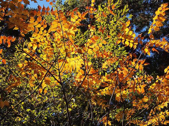 清八新道の黄葉