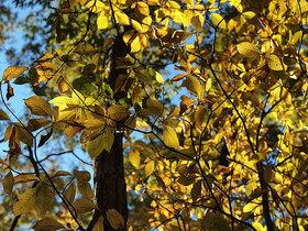 大ブナ尾根登山口付近の黄葉