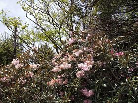 笠取山のシャクナゲ1