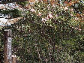 笠取山標高点とシャクナゲ