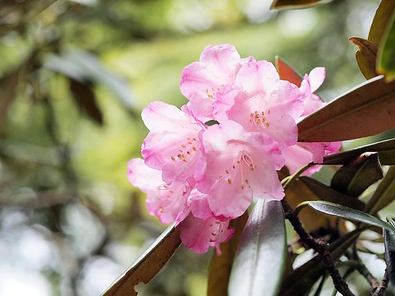 笠取山のシャクナゲ9