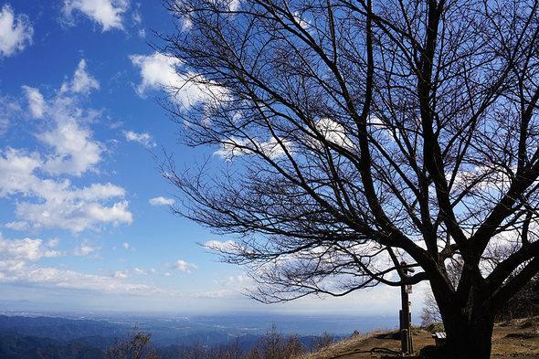 棒ノ折山の大きな桜