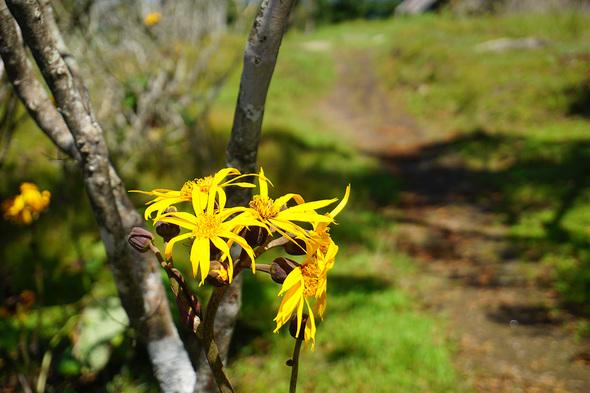 マルバダケブキがたくさん咲いている!