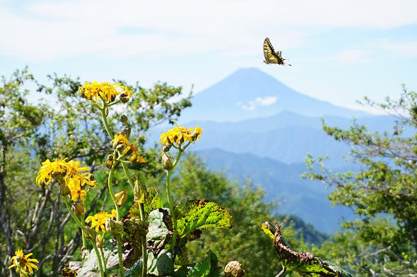 ハンゼノ頭より富士山をバックにマルバダケブキと蝶