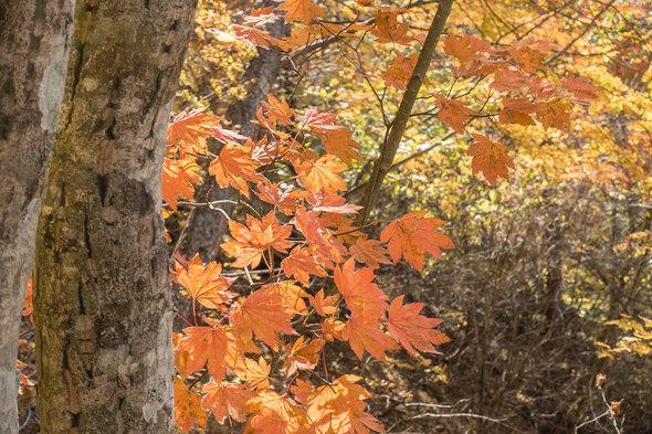 雁ケ腹摺山の紅葉するモミジ