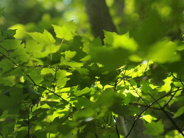 馬頭刈尾根の新緑