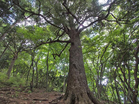 大岳山直登コースの大木