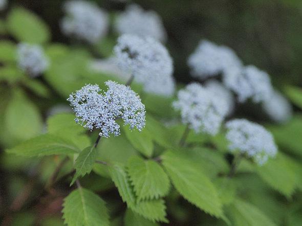 白倉に向かう山道脇に咲くコアジサイ
