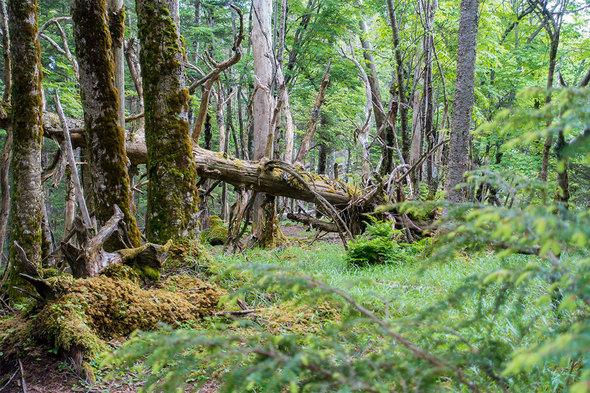 屋久島のような苔むした原生林が広がる小金沢連嶺の尾根道
