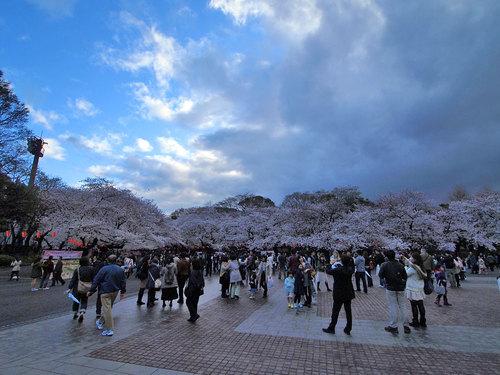 動物園前交番付近からの桜開花風景