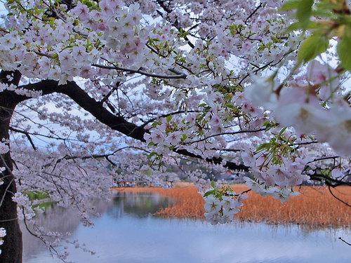 不忍池の桜と若葉