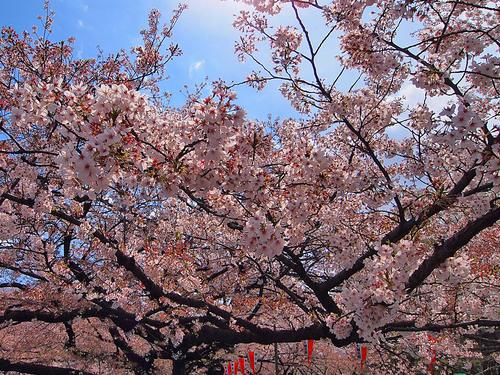 21014年4月6日上野公園の桜