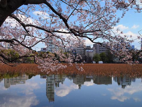 2014年4月6日不忍池の桜